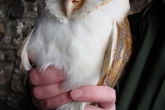 Barn owl ringed