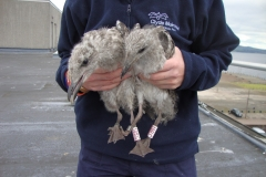Chicks being tagged on polie station roof