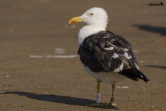 Clyde gull photographed by bridwatcher in Matosinhos Portugal by Jose Manuel